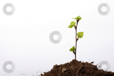 New life stock photo, A small sapling growing from a pile of dirt, isolated on white, concept shot depicting hope by Johann Helgason