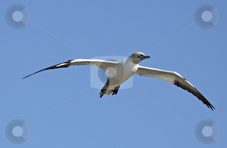 Seagull in flight stock photo, Seagull in flight with spread wings, blue sky background. by Martin Crowdy