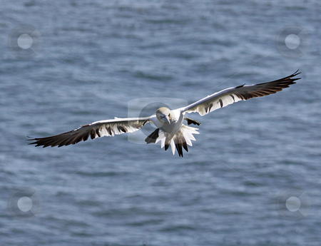 Seagull in flight stock photo, Seagull in flight over blue sea., head on. by Martin Crowdy