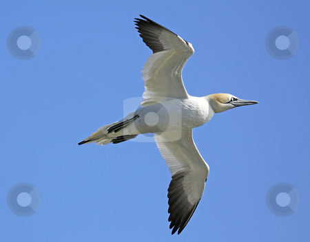 Seagull in flight stock photo, Low angle view of seagull in flight with blue sky background. by Martin Crowdy