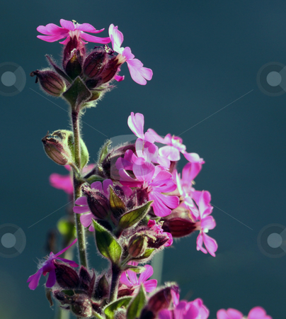 Purple flower in bloom stock photo, Macro purple flower in bloom with dark background and copy space. by Martin Crowdy