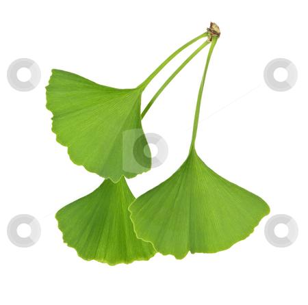 Ginkgo Biloba leaves stock photo, Three green ginkgo biloba leaves isolated on white background by Elena Elisseeva