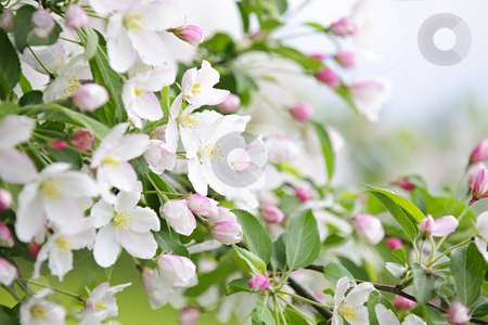 Blooming apple tree stock photo, Blooming apple tree branches in spring orchard by Elena Elisseeva