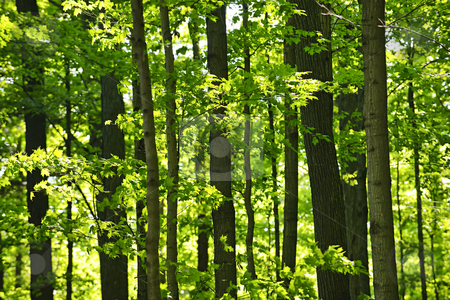 Green spring forest stock photo, Landscape of lush young green forest with maple trees by Elena Elisseeva