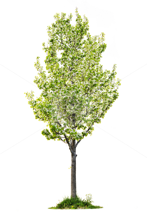 Isolated flowering pear tree stock photo, Single young flowering pear tree isolated on white background by Elena Elisseeva