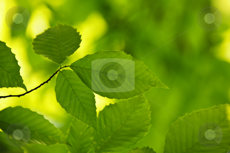 Green spring leaves stock photo, Green spring elm leaves  in clean environment by Elena Elisseeva