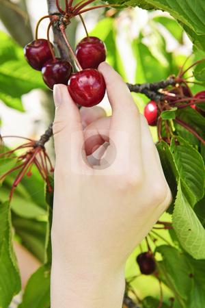 Hand picking cherries stock photo, Hand picking fresh cherries from cherry tree by Elena Elisseeva