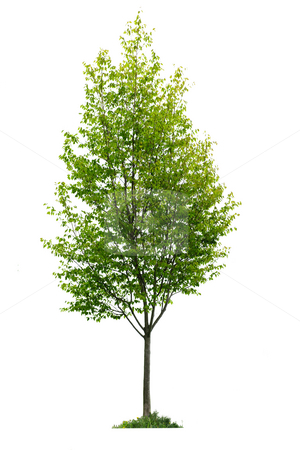 Isolated young tree stock photo, Single young tree with green leaves isolated on white background by Elena Elisseeva