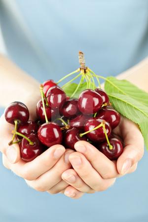 Hands holding bunch of cherries stock photo, Two hands holding bunch of fresh cherries by Elena Elisseeva