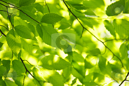 Green spring leaves stock photo, Green spring tree leaves in sunshine, natural background by Elena Elisseeva
