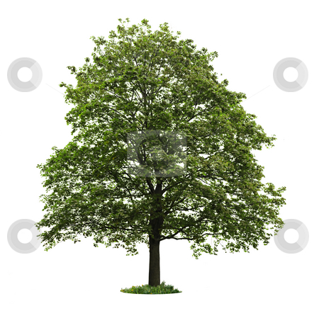 Isolated mature maple tree stock photo, Single maple tree with green leaves isolated on white background by Elena Elisseeva