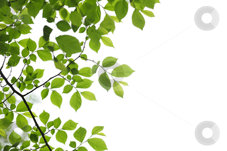 Green spring leaves on white background stock photo, Green spring leaves isolated on white background by Elena Elisseeva