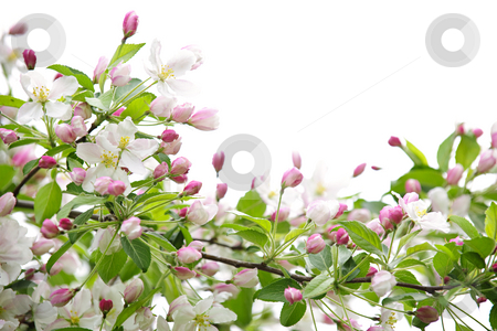 Apple blossoms stock photo, White and pink blossoms on apple tree branches on white background by Elena Elisseeva