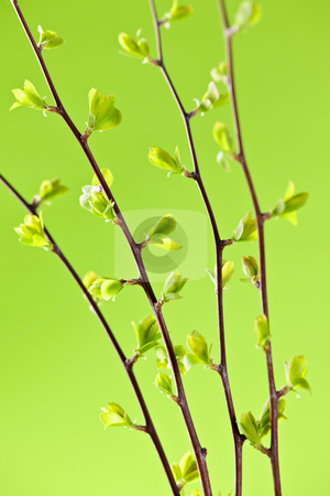 Branches with green spring leaves stock photo, Branches with young spring leaves budding on green background by Elena Elisseeva