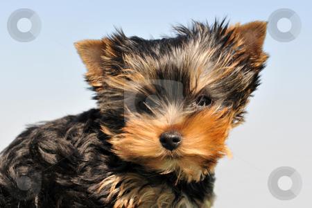 Puppy yorkshire terrier stock photo, Portrait of a puppy purebred yorkshire terrier on a blue sky by Bonzami Emmanuelle