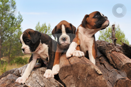 Puppies boxer stock photo, Three purebred puppies boxer on the wood by Bonzami Emmanuelle