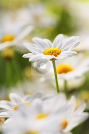 Summer Flower stock photo, An early summer flower. Very short depth-of-field. by Stocksnapper