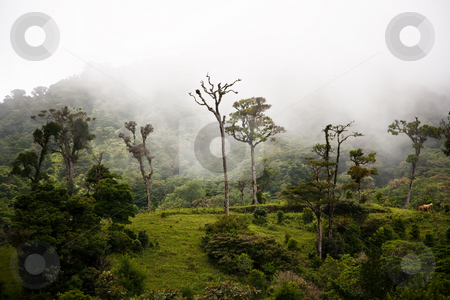 Tall cloud forest trees stock photo, Tall trees in the Costa Rican cloud forest by Scott Griessel