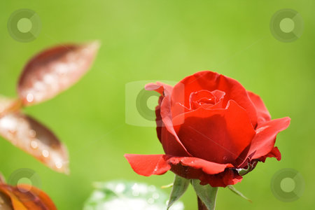 Red rose stock photo, Beautiful red rose in the garden by GPimages