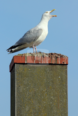 Noisy seagull with its beak wide open on a chimney. stock photo, Noisy seagull with its beak wide open on a chimney. by Stephen Rees