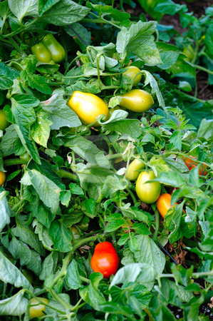 Tomatos stock photo, Ripe and unripe Roma Tomatoes growing on the vine by Lynn Bendickson