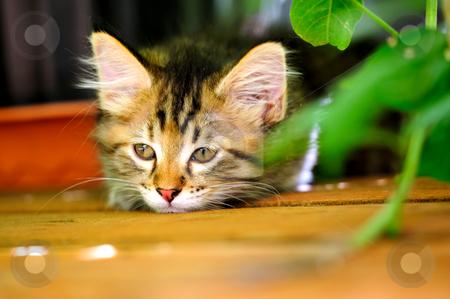 Bored Gray Kitten stock photo, Bored gray tiger striped kitten laying on wooden decking looking sad by Lynn Bendickson