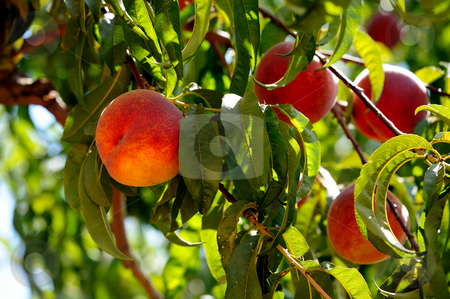 Peaches stock photo, Fresh summer peaches almost ready for harvest and delivery to farmers market by Lynn Bendickson
