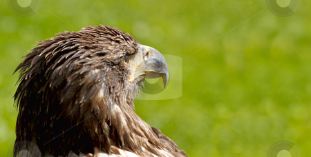 BigSea Eagle (Haliaeetus albicill) looking for prey stock photo, Big Sea Eagle (Haliaeetus albicill) looking for prey with space for text by Artush