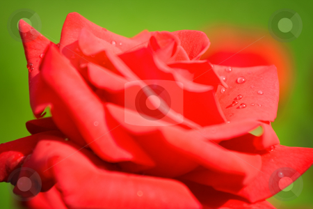 Red rose stock photo, Wet red rose close up - shallow DOF photo by GPimages