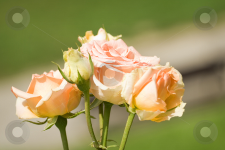 Roses stock photo, Beautiful roses in the garden by GPimages