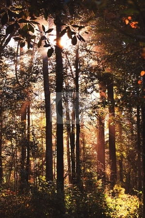 Misty Morning Sunrise stock photo, Deep forest sunrise through the trees. by Hillery Young