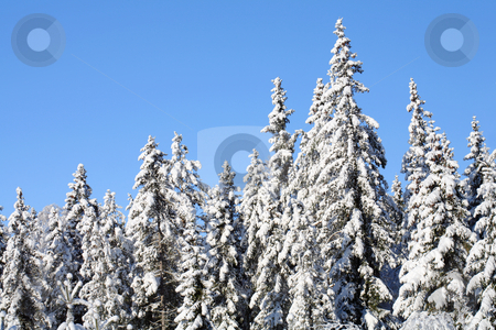 Winter forest stock photo, A Spruce forest in winter by Stocksnapper