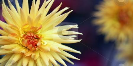 Dahlia stock photo, Closeup of a yellow orange dahlia flower panoramic format by Henrik Lehnerer