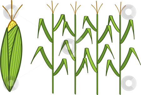 Corn stock vector for Corn stalk template