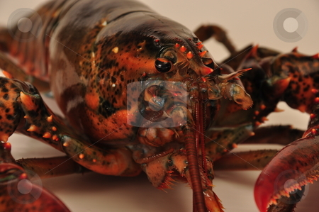 Lobster stock photo, Lobster ready to cook and eat by Richard Sheehan