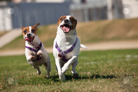 Energetic Jack Russell Terrier Dogs Running on the Grass stock photo, Energetic Jack Russell Terrier Dogs Running on the Grass Field. by Andy Dean