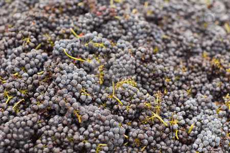 Harvested Red Wine Grapes stock photo, Beautiful Lush, Ripe Harvested Red Wine Grapes Background. by Andy Dean