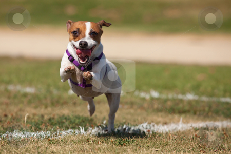Energetic Jack Russell Terrier Dog Runs on the Grass stock photo, Energetic Jack Russell Terrier Dog Runs on the Grass Field. by Andy Dean