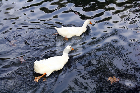 Two white ducks stock photo, Two white ducks in the water by Mile Atanasov