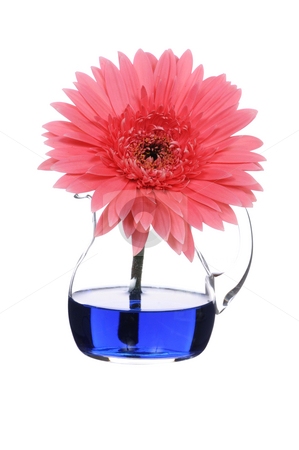 Gerbera stock photo, Pink gerbera in vase  on white background by Salauyou Yury