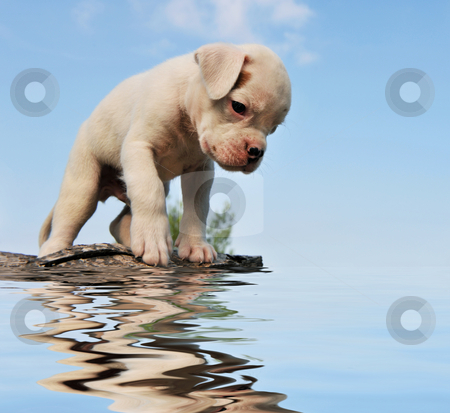 Puppy boxer and water stock photo, Purebred puppy white boxer with his reflection in the water by Bonzami Emmanuelle