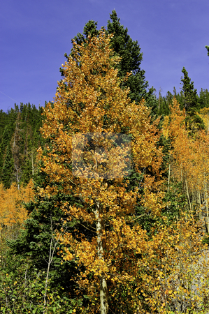 Aspens in fall stock photo, Red and orange fall leaves on the aspens by Don Fink