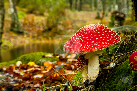 Amanita poisonous mushroom stock photo, Close-up picture of a Amanita poisonous mushroom in nature by ikostudio