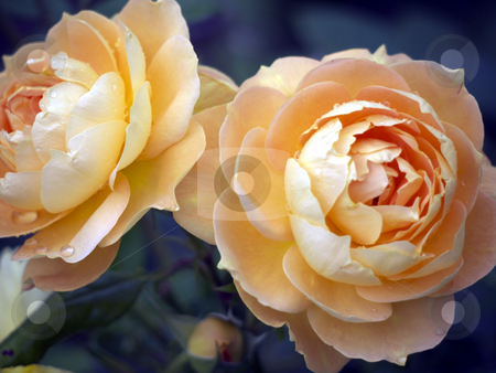 Rose flower with rain drops stock photo, Yellow rose with rain drops by Heike Jestram
