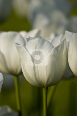 Tulips of Istanbul stock photo, White tulips in the gardens of the city Istanbul Turkey by OZMedia