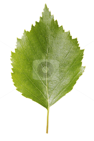 Birch leaf stock photo, A Birch leaf isolated on white by Stocksnapper