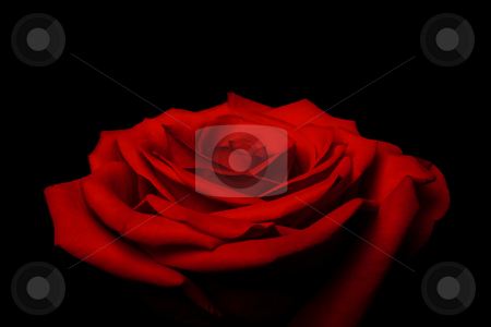 Layers of love petals - red rose stock photo, Beautiful red rose flower with layered petals resembling love and great gift for Valentine's day, isolated. by Paul Hakimata