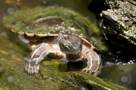Freshwater turtle. stock photo, Caribbean fauna: photo of a turtle in a pond. by Fernando Barozza