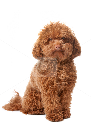 Brown toy poodle stock photo, Brown toy poodle with classic grooming in a pose by Erik Lam