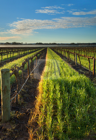 Barossa Vineyard Morning stock photo, A low fog hangs over the far end of a Barossa Valley Vineyard in South Australia by Mike Dawson